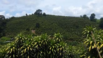 Café en asociación con Caña India